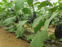 Culture d'aubergines sous serre