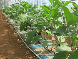 Culture d'aubergines sous serre froide