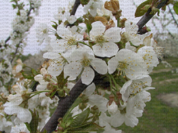 Floraison de cerisier