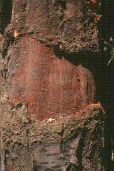 Dégats de campagnol sur tronc