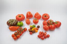Tomate Diversification