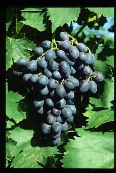 Variété de raisin noir, Ribol