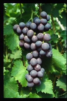 Variété de raisin noir, Salba