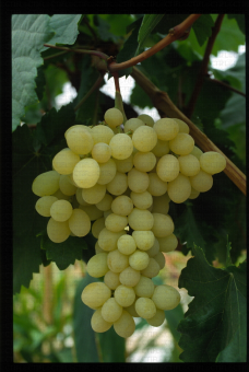 Variété de raisin blanc apyrene, Superior Seedless