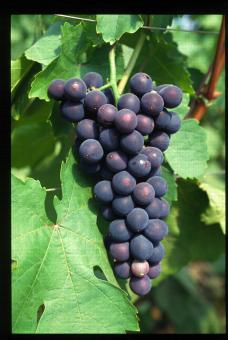 Variété de raisin noir, Takao