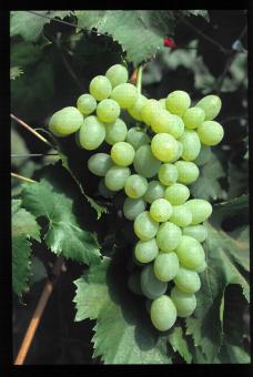 Variété de raisin blanc, Victoria