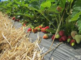 Fraisiers cultivés en sol sur paillage plastique en cours de production avec des fruits à maturité ou en cours de maturation