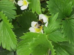 Bourdon sur une fleur de fraisier aidant à la pollinisation