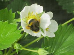Bourdon visitant une fleur de fraisier pour la pollinisation , pelotes bien visibles