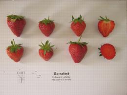 Présentation de fraises, variété Darselect ainsi qu'une coupe en largeur et en longueur du fruit