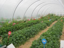 Culture en sol de fraisiers sur butte sur paillage plastique sous abri. Bandes florales sur les côtés