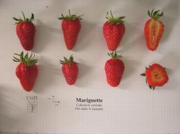 Présentation de fraises, variété Mariguette® ainsi qu'une coupe en largeur et en longueur du fruit