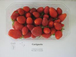 Présentation en barquette de la variété de fraise Gariguette