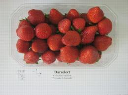 Présentation en barquette de la variété de fraise Darselect