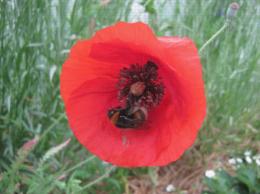Un bourdon sur une fleur de coquelicot