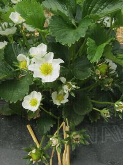 Plants de fraisiers avec présence de fleurs à différents stades phénologiques