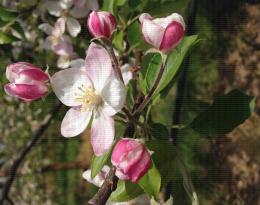 Corymbe de pommier au stade début de floraison