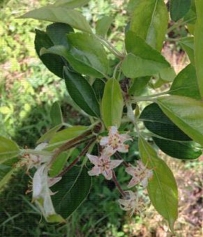 Fleurs de pommier au stade fin de floraison