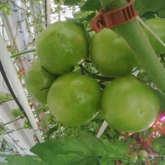 Peau de crapaud sur les fruits de tomate