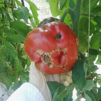 Nécrose apicale (cul noir) sur un fruit de tomate