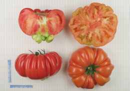 Variété de tomate de type ancien côtelé et rouge