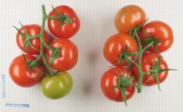 Tomate en grappe avec différentes maturités de fruits