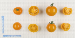 Tomates cerise de couleur orange