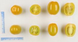 Tomates cerise de couleur jaune