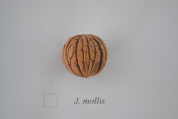 Juglans mollis