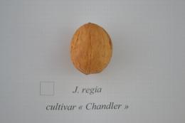 Juglans regia cv. 'Chandler'