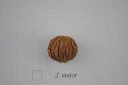 Juglans major