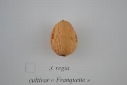 Juglans regia cv. 'Franquette'