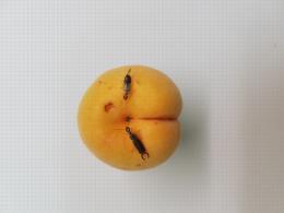 Couple de forficule sur un abricot