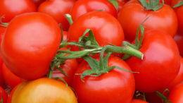 Banc de marché : tomate grappe. Bergerac, printemps 2016