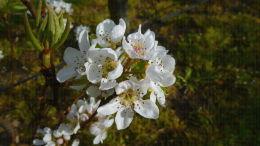 Verger de poiriers, pleine floraison - Lanxade (24)