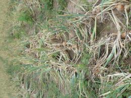 Rangs d'oignons, juste avant la récolte. CTIFL centre de Lanxade (24)