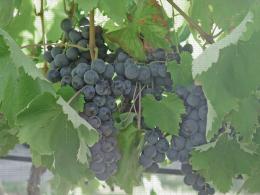 Alphonse Lavallée, variété de raisin de table