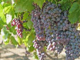 Apulia, variété de raisin de table