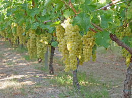 Centennial, variété de raisin de table