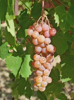 Red Globe, variété de raisin de table