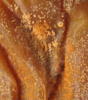 Colletotrichum acutatum - Acervules