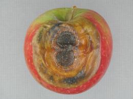 Colletotrichum gloeosporioides sur pomme