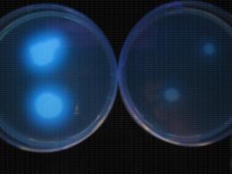 Pseudomonas syringae fluorescent sur milieu KingB en lumière noire