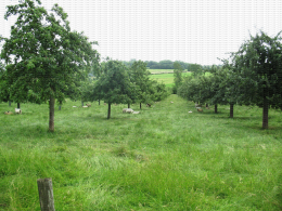 Verger de pomme à cidre et moutons en Normandie