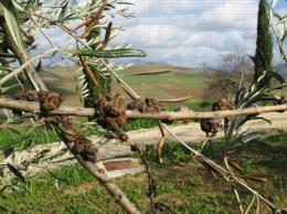 Bactériose de l'olivier