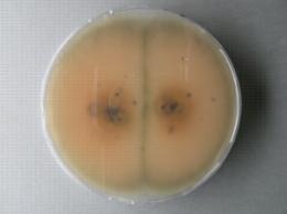 Colletotrichum acutatum  en culture, sous-culture