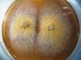 Nectria (Neonectria ditissima) en culture