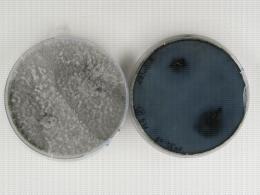 Botryosphaeria en culture : couleur caractéristique bleutée de la sous-culture