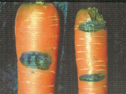 Symptôme de Mycocentrospora acerina sur carotte