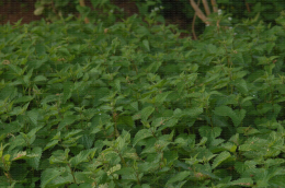 Culture d'orties pour la fabrication de purin